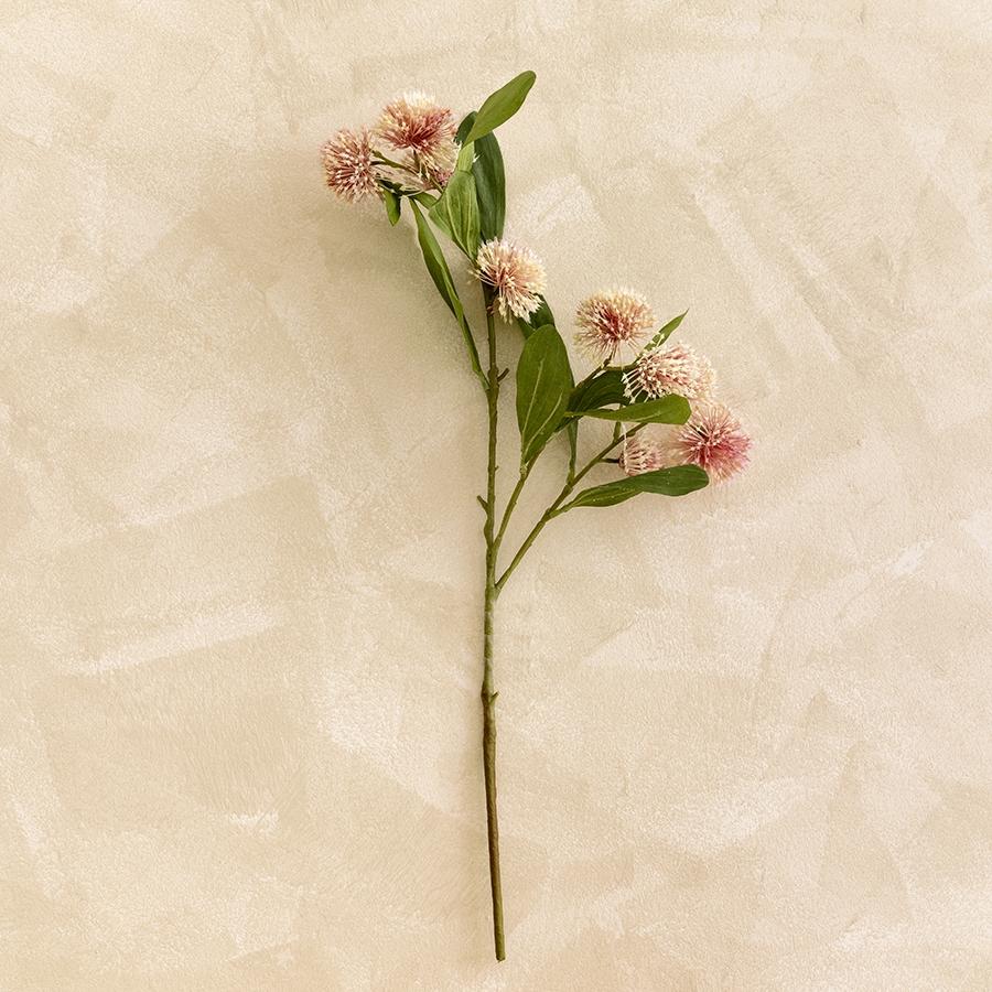 Scadoxus h70 rosa